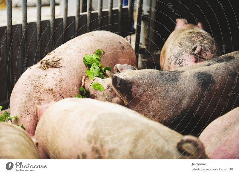 Bio-Schweine Fleisch Wurstwaren Ernährung Bioprodukte Gesundheit Gesundheitswesen Gesunde Ernährung Landwirtschaft Bauernhof Tier Nutztier Hausschwein