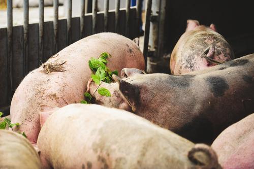 Bio-Schweine Gesunde Ernährung Tier Gesundheit Familie & Verwandtschaft Gesundheitswesen Menschengruppe Tiergruppe Landwirtschaft Zusammenhalt Bauernhof