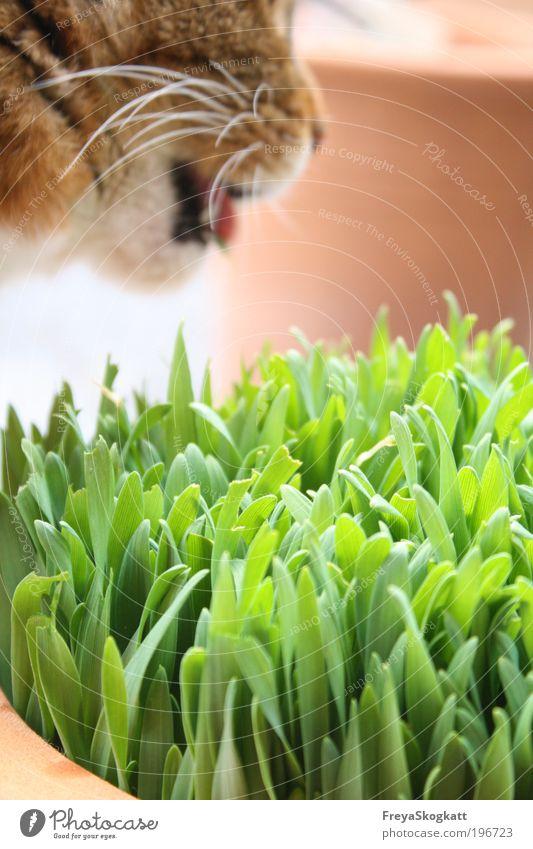 Grüner Schmaus Katze Natur grün Tier Ernährung Gras Frühling braun natürlich frei außergewöhnlich frisch Fell einfach Vertrauen stark