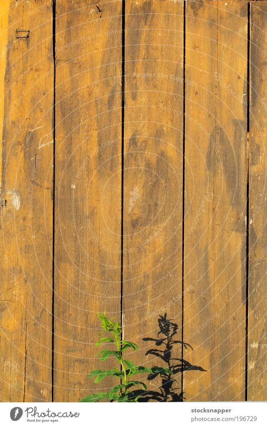 Sommerwand Pflanze Flora Wand Mauer hölzern alt abgenutzt Schatten Sonnenlicht Wärme heiß Natur wachsend Wachstum