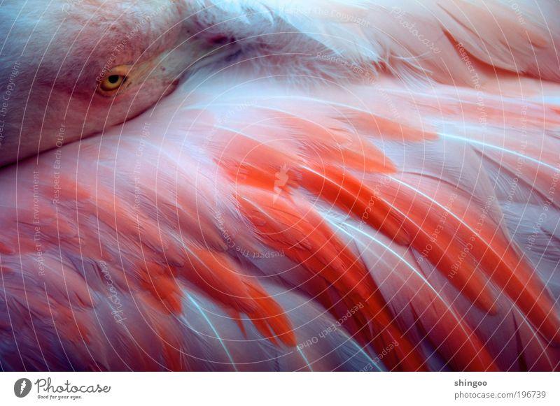 Flamingo schön weiß Tier Erholung Wärme Zufriedenheit Vogel rosa elegant schlafen Sicherheit ästhetisch nah weich Tiergesicht Kitsch