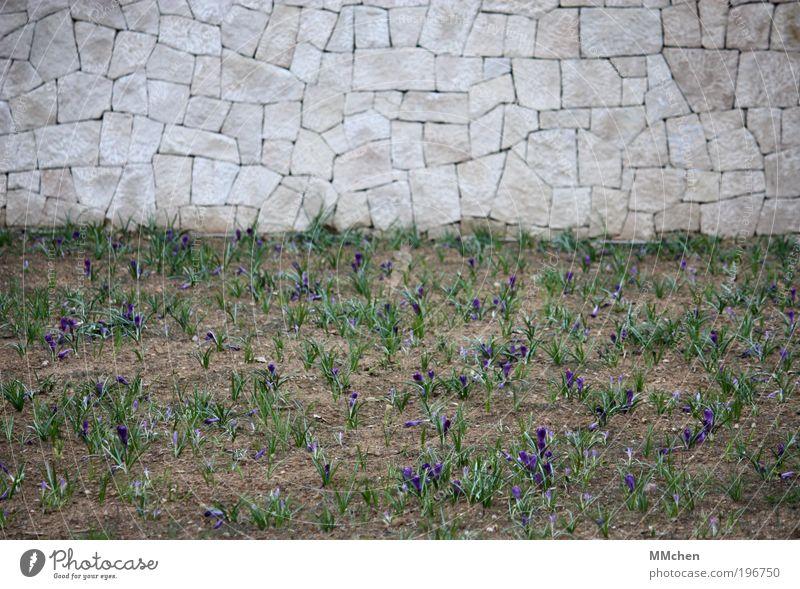 Stadtbelila/grünung Natur Pflanze Erholung Wand Garten grau Mauer Park Feld Umwelt neu violett natürlich Krokusse