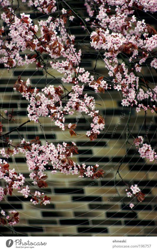 Frühlingsfassade Natur Baum Pflanze Blatt Leben Wand Umwelt Blüte Mauer Frühling rosa Fassade natürlich Kitsch Blühend