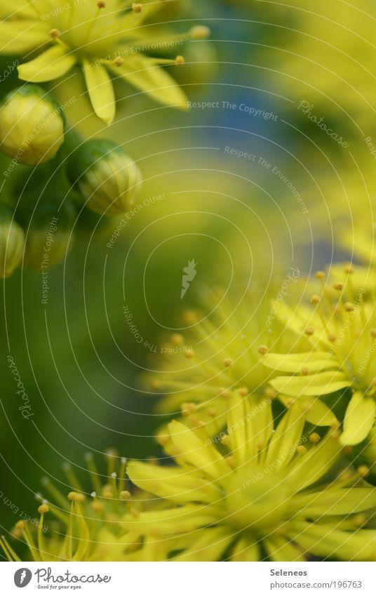 Grelb Natur schön Blume Pflanze Sommer Ferien & Urlaub & Reisen Blatt gelb Wiese Blüte Frühling Park Wetter Umwelt ästhetisch