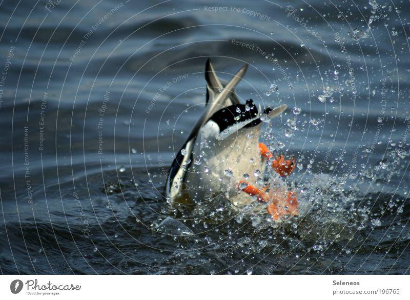 Köpper vom Dreimeter Sommer Umwelt Natur Tier Wasser Wassertropfen Klima Wetter Schönes Wetter Wellen Küste See Wildtier Flügel Ente 1 springen tauchen frei