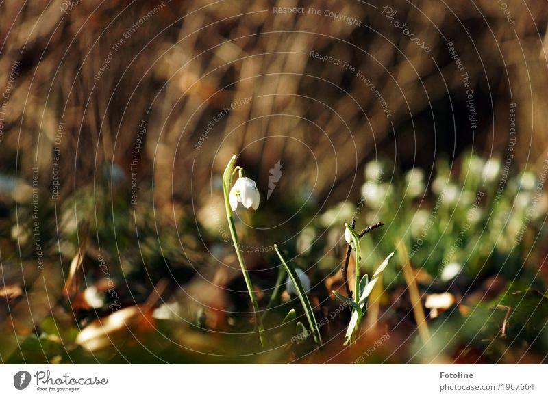 Frühlingserwachen Umwelt Natur Landschaft Pflanze Schönes Wetter Blume Blüte Garten Park frisch hell nah natürlich Wärme braun grün weiß Schneeglöckchen