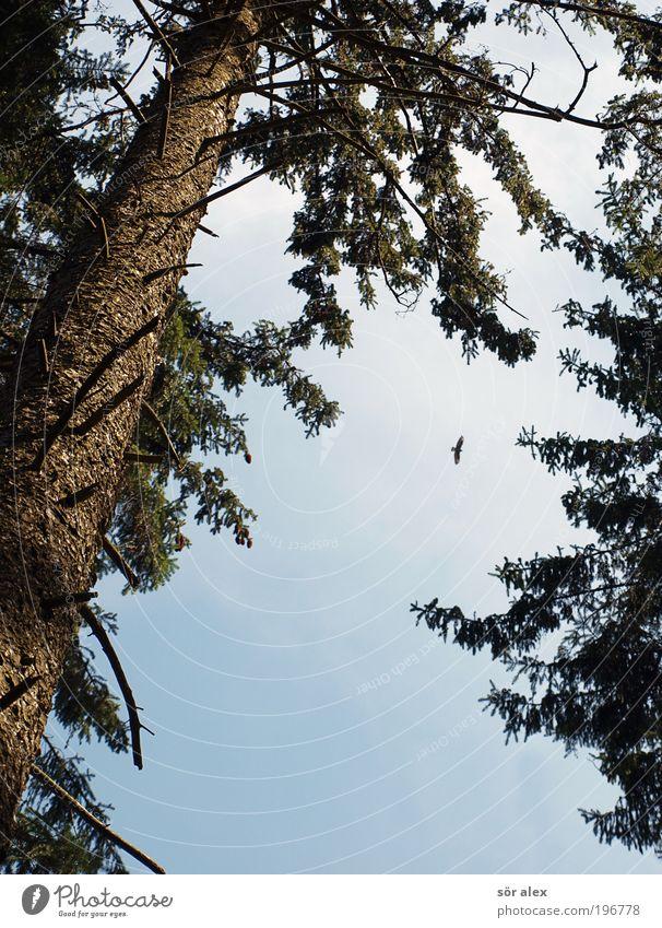 auf der Jagd Himmel Baum grün blau Tier Wald braun Kraft Vogel Angst fliegen Geschwindigkeit gefährlich bedrohlich beobachten wild