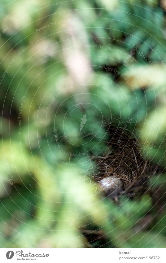 In Hecken ist gut Verstecken Pflanze Tier Sträucher Grünpflanze Wildpflanze Tuja Wildtier Vogel Ei Amsel Amselei Nestbau Nestwärme Horst entdecken Wachstum grün