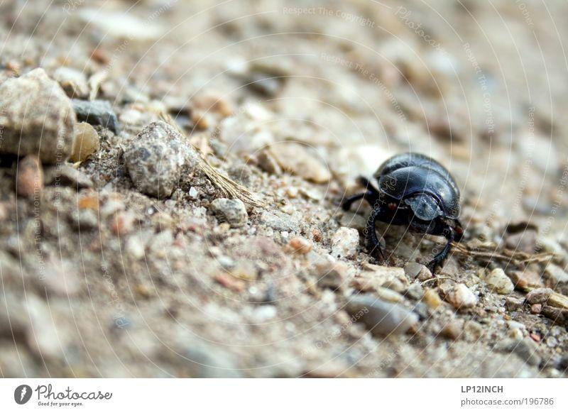 Mistkäfer Natur Sommer Tier Umwelt Bewegung Sand Park Erde Feld Angst laufen gefährlich beobachten Neugier Todesangst anstrengen