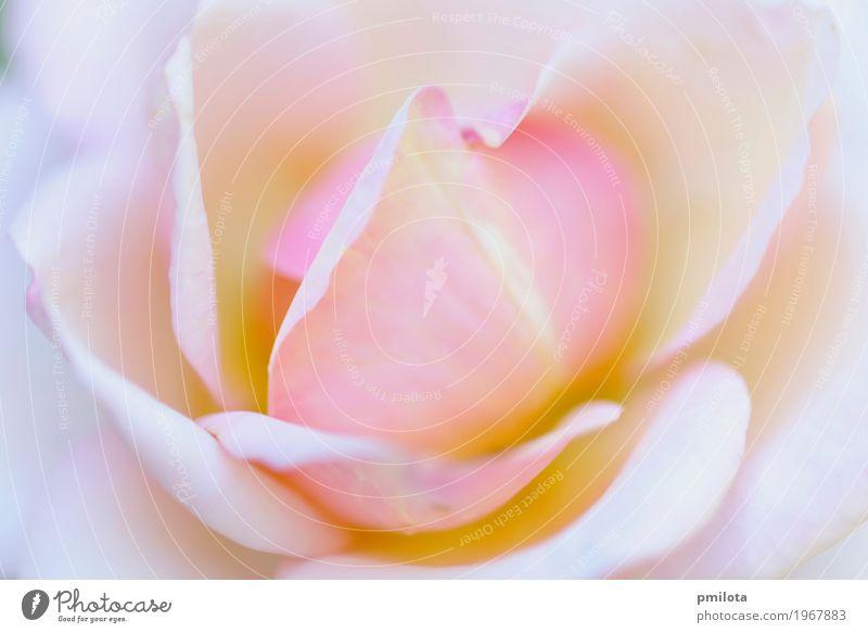 Magenta Blüte Design schön Sommer Garten Dekoration & Verzierung Feste & Feiern Natur Pflanze Blume Blatt Blumenstrauß Liebe frisch hell natürlich blau gelb