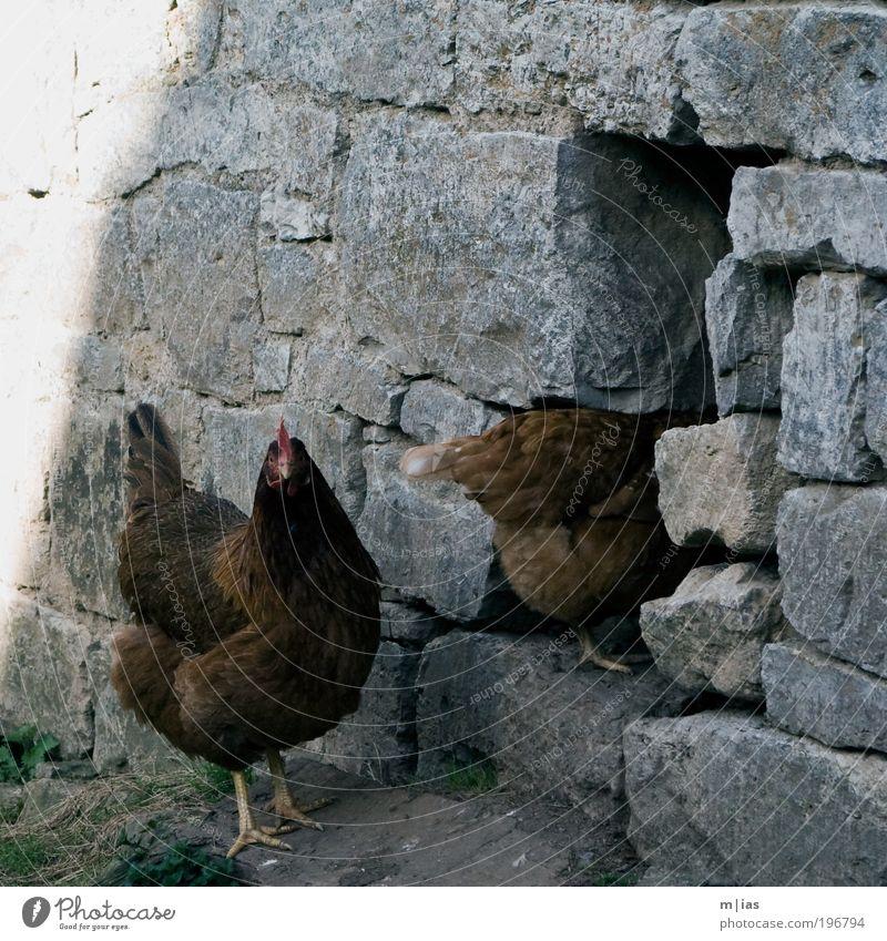 Türsteher Tier Mauer Stein braun Zufriedenheit Feder Flügel Neugier Landwirtschaft Tor verstecken Loch Ei Kontrolle Haustier Schnabel