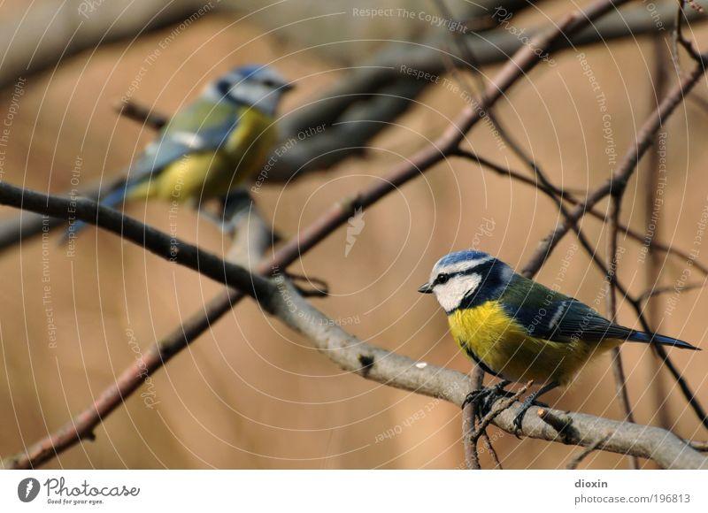 Annäherungsversuch (Cyanistes caeruleus) Natur blau weiß Baum Pflanze Tier schwarz gelb Gefühle Garten Freundschaft Vogel Park Zusammensein Wildtier Tierpaar