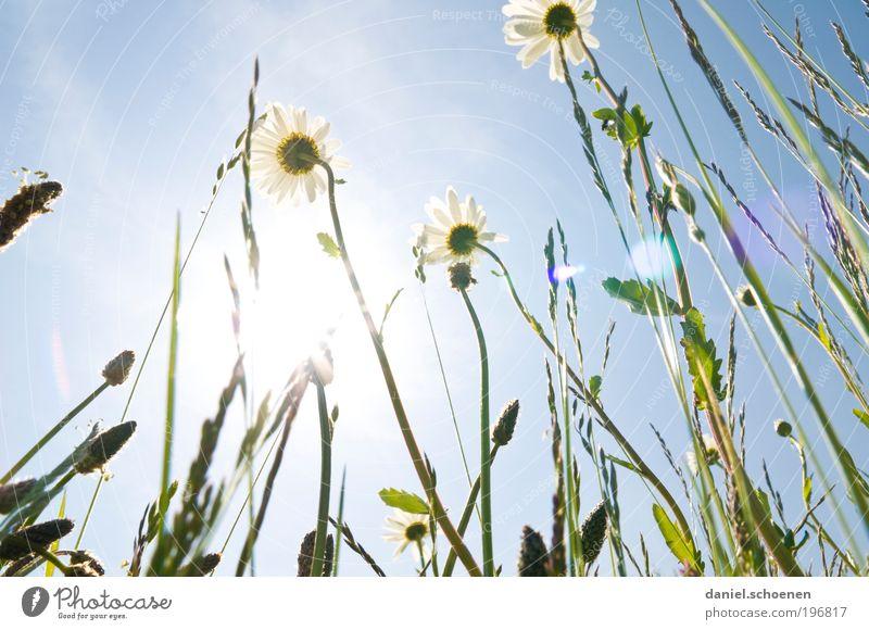 Sonnenenergie Teil 3 Umwelt Natur Pflanze Wolkenloser Himmel Sonnenlicht Frühling Sommer Klima Wetter Schönes Wetter Gras Blatt Blüte Wiese blau grün weiß
