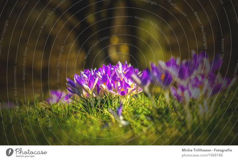Krokusse in der Frühlingssonne Natur Pflanze Sonne Sonnenlicht Wetter Schönes Wetter Baum Blume Gras Blatt Blüte Garten Park Wiese Blühend Duft leuchten