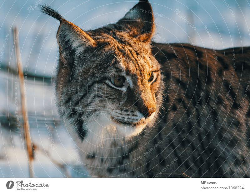 luchs Katze schön Tier Winter Wald Pfote Landraubtier Katzenauge Wildpark Luchs Wildkatze