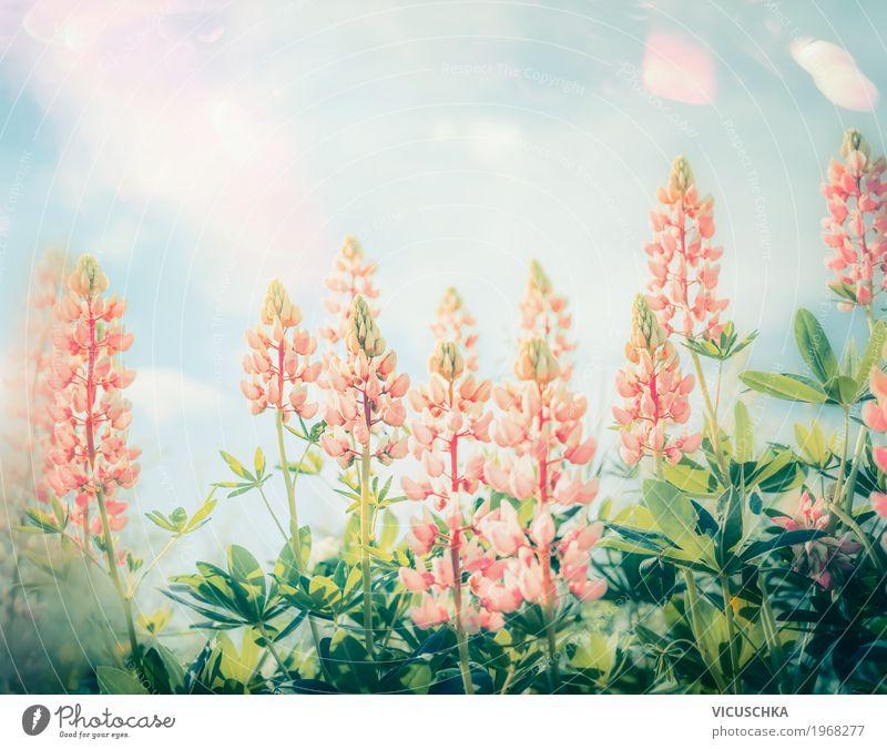 Schöne GartenBlumen Lifestyle Design Sommer Natur Pflanze Sonne Sonnenlicht Schönes Wetter Blatt Blüte Park Blühend rosa Lupine Pastellton Himmel
