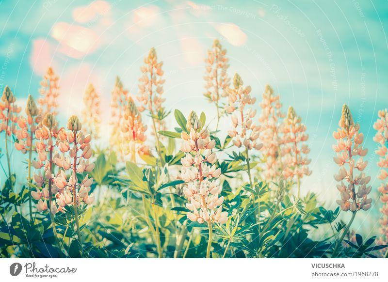 Floral Natur Hintergrund mit Lupinen Lifestyle Freizeit & Hobby Sommer Garten Umwelt Landschaft Pflanze Himmel Sonnenlicht Blume Blatt Blüte Park Wiese rosa