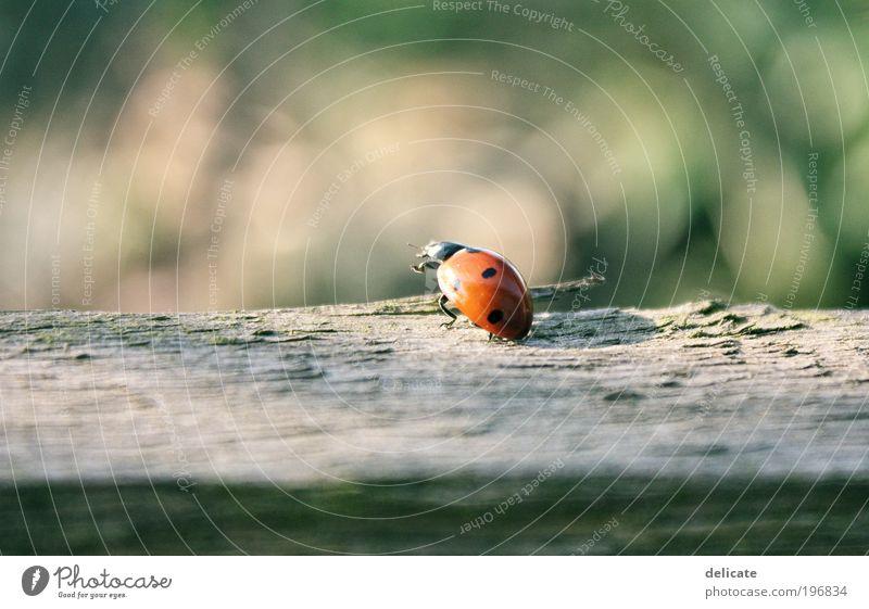 Frühlingsbote Natur grün rot Sommer Tier Bewegung braun fliegen beobachten Käfer krabbeln Marienkäfer