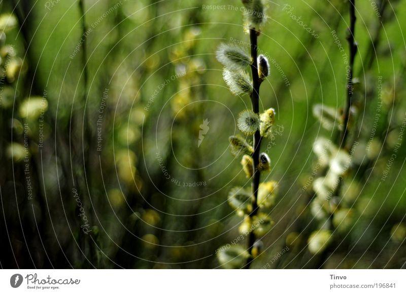 wunderbarer Frühling Natur grün Pflanze Frühling Park Feld Umwelt frisch Fröhlichkeit Freundlichkeit Schönes Wetter Weide Wildpflanze Weidenkätzchen