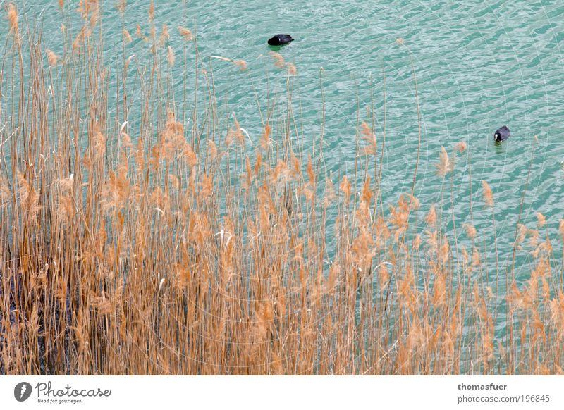 Vogelperspektive Natur Wasser blau Sommer ruhig Tier gelb Gras Frühling Vogel Ausflug Idylle Gelassenheit Wildtier Seeufer