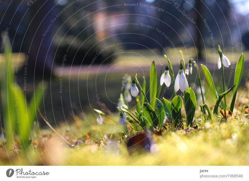 schneeglöckchen Pflanze Frühling Schönes Wetter Blume Blüte Park Blühend frisch natürlich Frühlingsgefühle Vorfreude Natur Schneeglöckchen Farbfoto