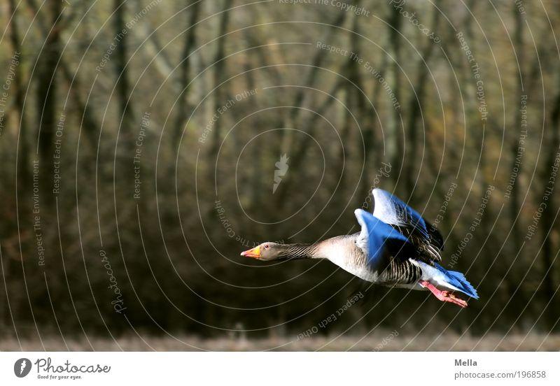 Abheben Umwelt Natur Tier Wildtier Vogel Wildgans Graugans 1 fliegen frei natürlich Beginn anstrengen Bewegung Freiheit Idylle Umweltschutz startbereit Farbfoto