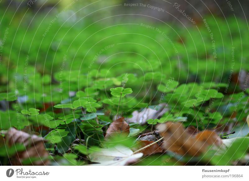 Waldklee Natur grün Pflanze Herbst Erde Wachstum