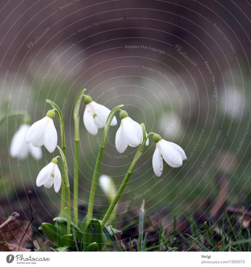 Frühling in Sicht ... Umwelt Natur Pflanze Blume Gras Blüte Schneeglöckchen Park Blühend stehen Wachstum ästhetisch schön klein natürlich braun grün weiß