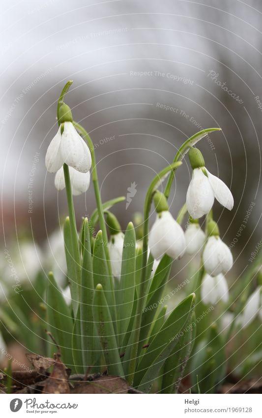 sie läuten schon ... Umwelt Natur Pflanze Frühling Blume Blatt Blüte Schneeglöckchen Park Blühend stehen Wachstum schön klein natürlich braun grau grün weiß