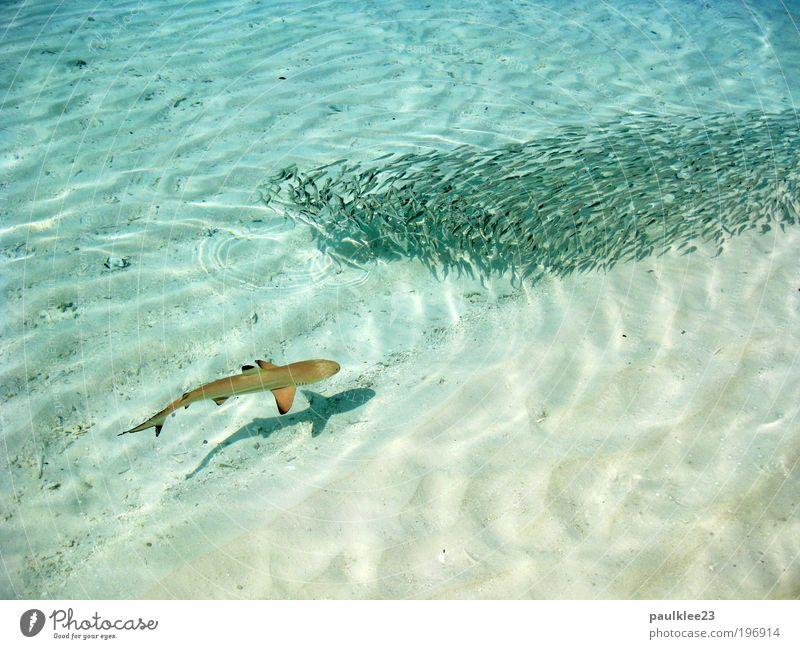achtung hai Ferien & Urlaub & Reisen Wasser Sonne Meer Erholung Landschaft Tier Ferne Zufriedenheit Tourismus Klima Insel beobachten Fisch tauchen fangen