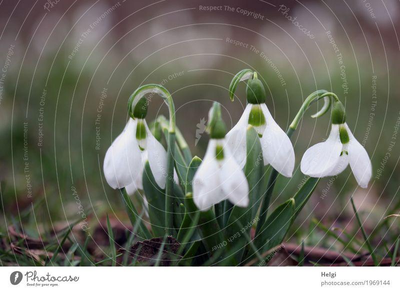 Wachsen und gedeihen | bald... Umwelt Natur Pflanze Frühling Blume Blatt Blüte Schneeglöckchen Garten Blühend Wachstum schön klein natürlich braun grün weiß