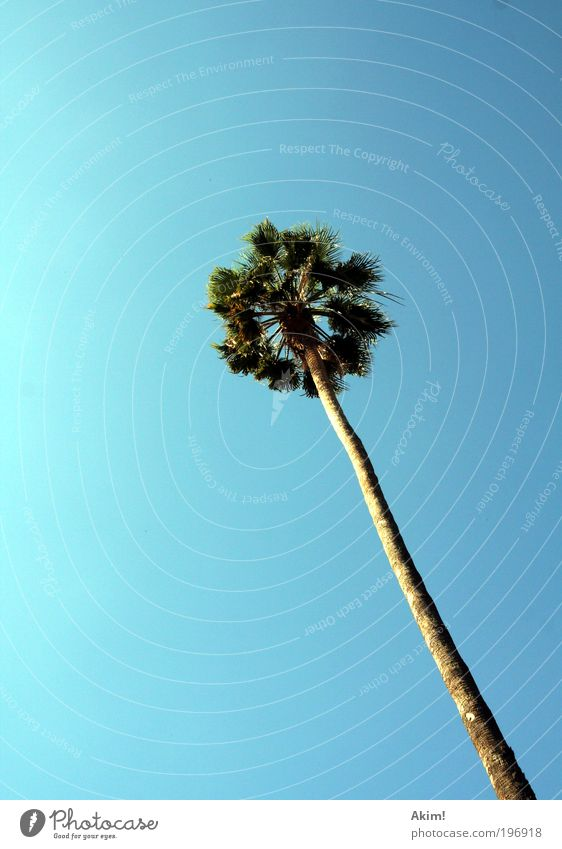 """""""Sommer Palmen Sonnenschein"""" Natur Baum Sonne grün blau Pflanze Sommer Freude Ferien & Urlaub & Reisen ruhig Ferne Erholung Freiheit träumen Fröhlichkeit Tourismus"""