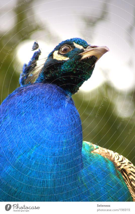 die hundert Augen des Argus Natur Pflanze Tier Gefühle Park Vogel Wetter Umwelt ästhetisch Tiergesicht bedrohlich Klima eitel Pfau