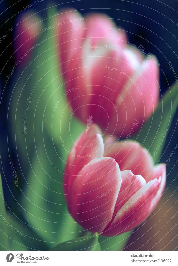 Spring, spring, spring... Natur Pflanze Frühling Blume Tulpe Blatt Blüte Blühend Duft natürlich schön rosa zart Blumenstrauß Tischdekoration Frühlingsblume