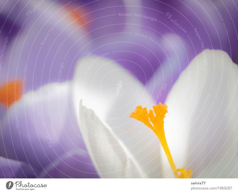 Frühlingsduft Sinnesorgane Natur Pflanze Sonne Blume Blüte Krokusse Garten Park Blühend Duft Wachstum ästhetisch positiv schön gelb violett weiß