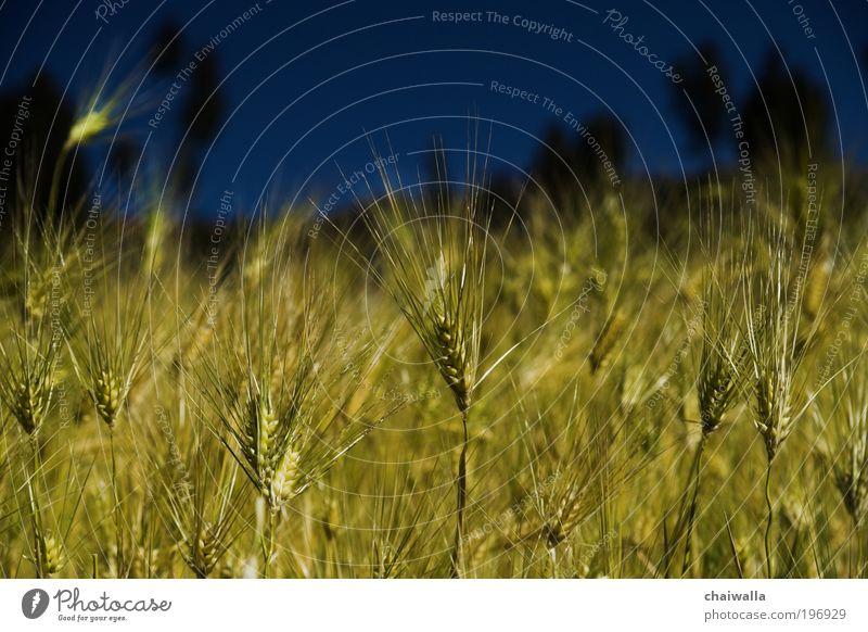 Golden Treasures Natur Sonne grün blau Pflanze Sommer gelb Wiese Gras Wärme Kraft glänzend elegant Umwelt gold ästhetisch