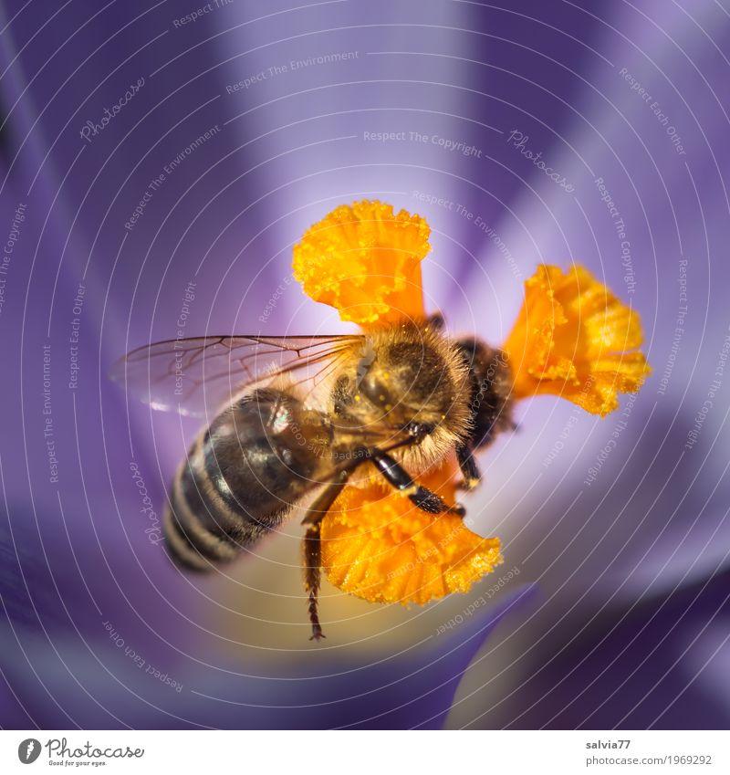im Element Umwelt Natur Frühling Blume Blüte Krokusse Garten Nutztier Biene Flügel Honigbiene Insekt 1 Tier Blühend Duft krabbeln Liebe Gesundheit lecker süß