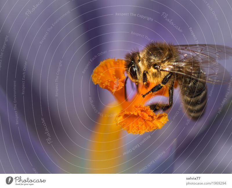 Frühlingstracht Umwelt Natur Pflanze Tier Blume Blüte Krokusse Nektar Pollen Stempel Garten Nutztier Biene Flügel Insekt Honigbiene Arbeit & Erwerbstätigkeit