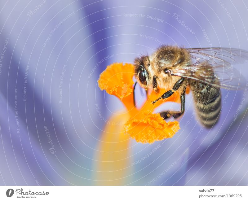 Frühlingsboten Umwelt Natur Pflanze Tier Blüte Krokusse Garten Biene Flügel Insekt Honigbiene 1 Duft lecker süß blau orange Frühlingsgefühle genießen Glück