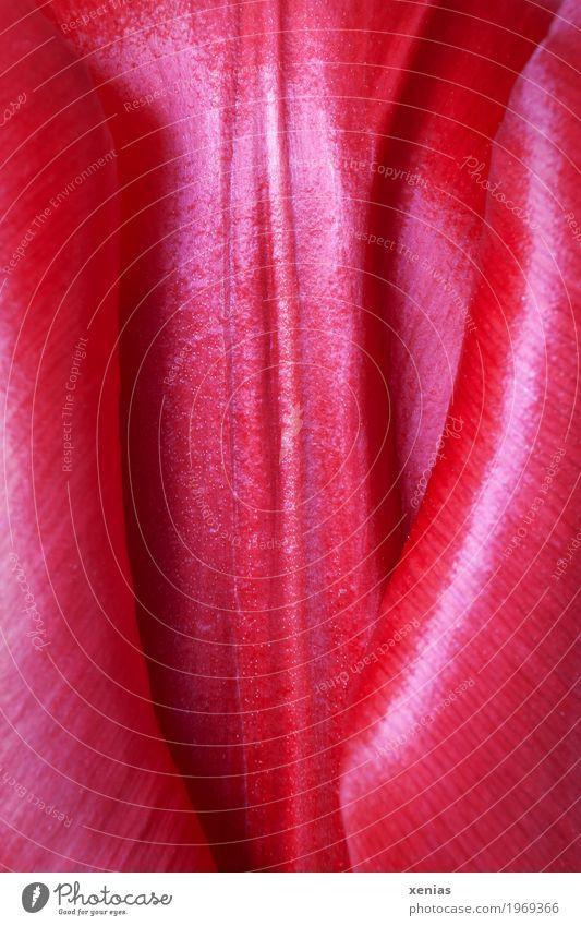 rote glänzende Tulpe schön Frühling Blüte Garten weich Tulpenblüte Farbfoto Detailaufnahme Makroaufnahme