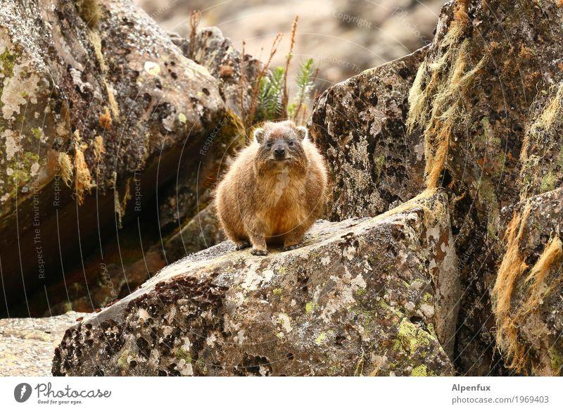 Bin doch ganz lieb Tier braun Felsen Freundschaft Wildtier sitzen niedlich Neugier Fell Afrika exotisch Moos kuschlig Sympathie Tierliebe