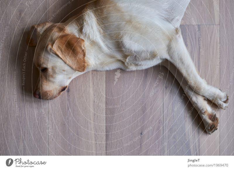Relax Tier Haustier Hund Labrador 1 Holz liegen braun gelb schwarz weiß Geborgenheit Erholung Farbfoto Innenaufnahme Menschenleer Textfreiraum unten Tag