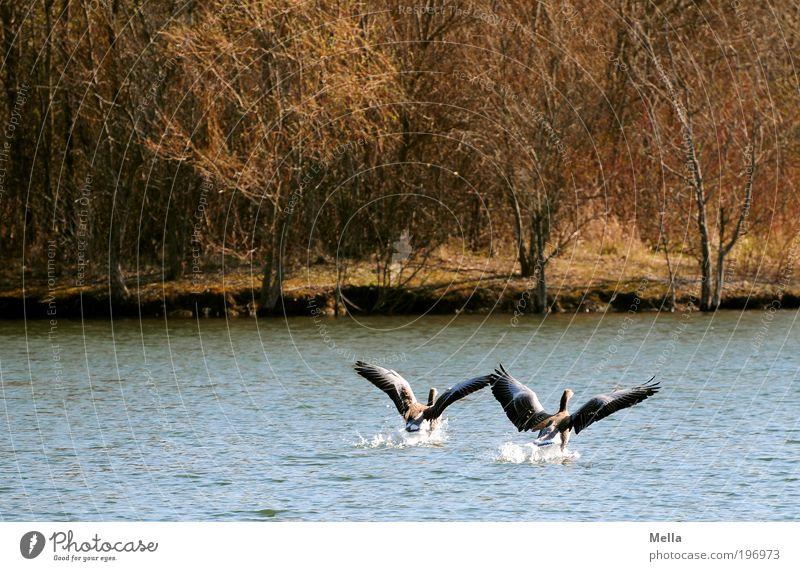 Gemeinsam Umwelt Natur Tier Wasser Seeufer Teich Wildtier Vogel Wildgans Graugans 2 fliegen frei Zusammensein natürlich Stimmung Einigkeit loyal Sympathie