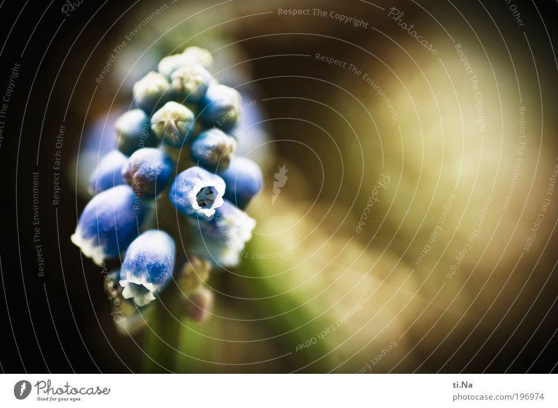 Frühlingsmuskat Natur blau Pflanze Tier Umwelt Landschaft Frühling Glück Blüte Zufriedenheit wild Klima natürlich Fröhlichkeit authentisch Wachstum