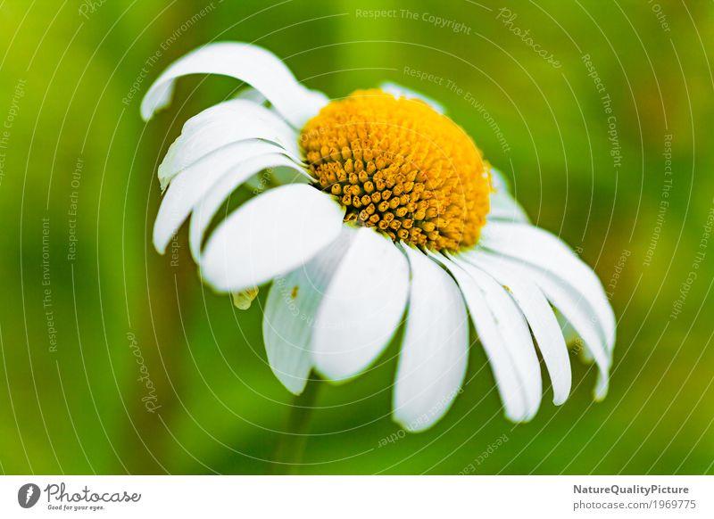 daisy flower Natur Pflanze Sommer Farbe schön grün weiß Landschaft Blume Erholung ruhig Umwelt Leben gelb Blüte Liebe