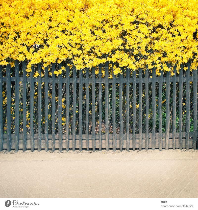 Indirekter Sonnenstreifen für Gingerine Umwelt Natur Pflanze Frühling Schönes Wetter Blume Sträucher Forsythienblüte Garten Dorf Kleinstadt Stadtrand Zaun