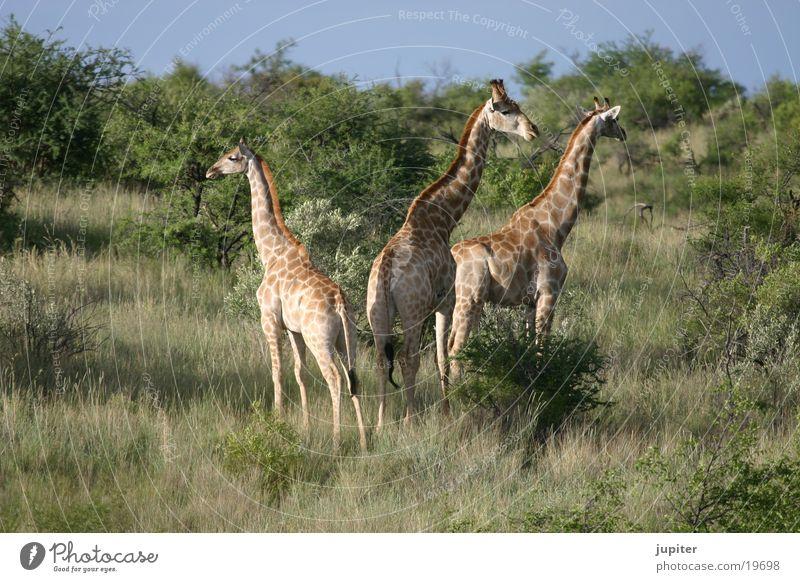 Giraffen-Familie Afrika Safari Namibia