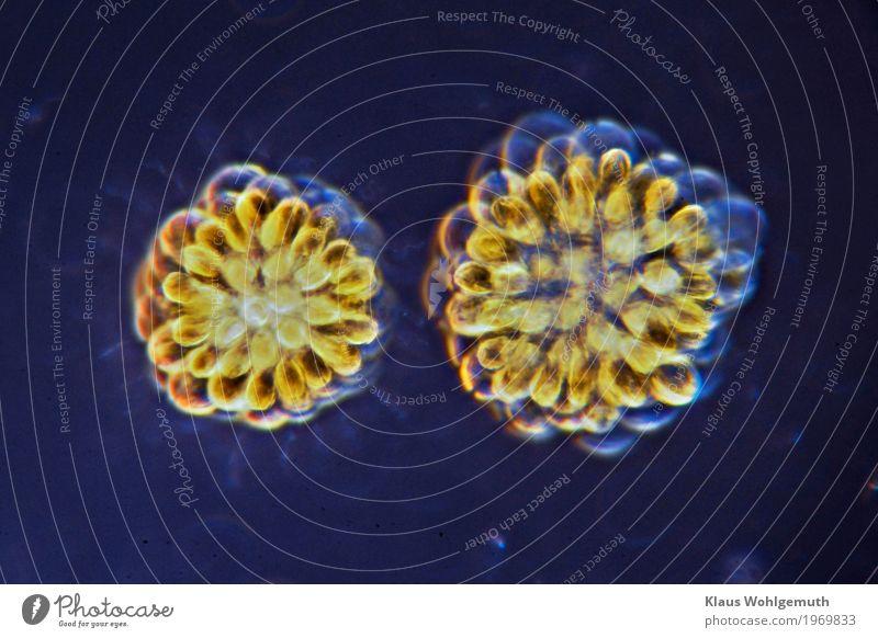400x Umwelt Natur Pflanze Wasser Algen Rosetten- Goldkugel Teich Schwimmen & Baden blau gelb gold grün Mikroskop Mikrofotografie Geißelzellen chlorphyll