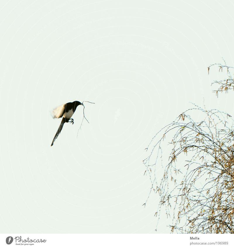 Hausbau Umwelt Natur Tier Luft Himmel Frühling Pflanze Baum Nutztier Vogel Elster 1 Arbeit & Erwerbstätigkeit bauen Bewegung fliegen frei natürlich Stimmung