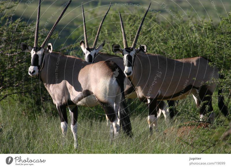 Oryx-Antilopen Afrika Safari Namibia Spießbock